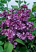 Syringa vulgaris 'Katharina Havemayer' (lilac)