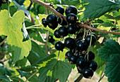 Ribes nigrum 'Titania' (blackcurrant)
