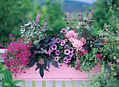 Rosa Holzkasten mit Lobelia (purpurnes Männertreu)