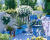Agryanthemum 'Stella 2000' - 'Sole Mio' (marguerite)