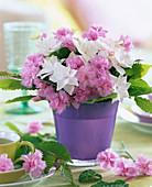 Dianthus (rosa Nelke)