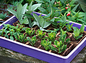Cuttings of Osteospermum (Cape daisy)