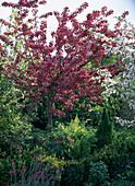 Malus 'Scarlet' (ornamental apple)