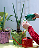 Further cultivation of Amaryllis