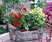 Argyranthemum 'Sole Mio'