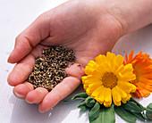 Calendula (marigolds)