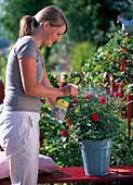 Young woman spraying rose (red dwarf rose)