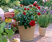 Pink (red dwarf rose)