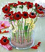 Anemone 'Mona Lisa Red' (Crown Anemone)