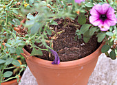Petunia 'Pink Vein'
