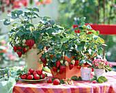 Fragaria 'Elan' (strawberry)