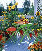 Canna (Indian flower tube), Helianthus (sunflower)