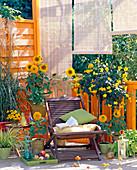 Helianthus (sunflower), Cassia corymbosa (spice bark)