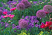 Allium 'Purple Sensation' (ball leek)