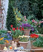 Box, Tulipa Kaufmanniana 'Showwinner', Helleborus orientalis, Crocus' Remembra