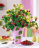 Rubus (raspberry) in pink vase
