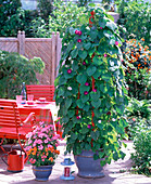 Plant buckets with morning glory