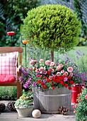 Cupressus macrocarpa 'Goldcrest' (cypress)