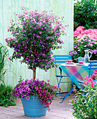 Solanum syn. lycianthes (gentian tree)