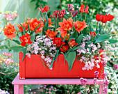 Tulipa (Tulip), Phlox 'Candy Stripes' (moss phlox)
