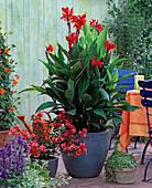Canna (Indisches Blumenrohr)