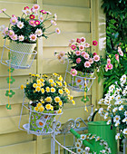 Argyranthemum 'Crowned Rose', 'Sole Mio' (Marguerite)
