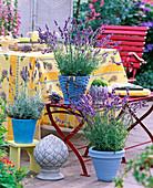 Lavandula (lavender), Sempervivum (houseleek)