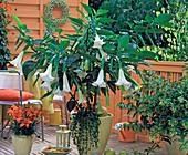 Brugmansia (Datura, Angel Trumpet)