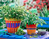 Salvia officinalis, Salvia 'Icterina' (sage)