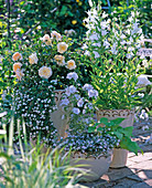 Rose 'The Pilgrim' (English Rose)