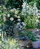 Rose 'The Pilgrim' (English Rose), Malva (mallow)