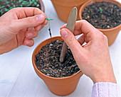 Tagetes seeding