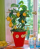 Citrus limon (Zitrone)