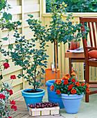 Ribes 'Mucurines', 'Invicta' (gooseberry)