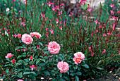 Pink 'Botticelli' (Beethrose)