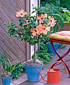 Hibiscus (rosemary)