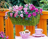 Impatiens walleriana Desire 'Pink', 'Rose', 'Coral'