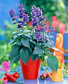 Salvia Mystic Spices 'Blue' (Ornamental sage)