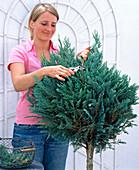 Chamaecyparis Col. 'glauca' (Blue columnar cypress)