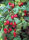 Rubus 'harvest blessing' (raspberry)