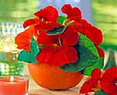 Tropaeolum (red nasturtium)