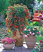Begonia 'Illumination Orange' (garland begonia)