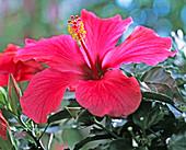 Hibiscus rosa-sinensis (rosemary)