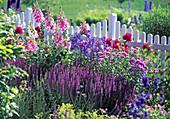 Salvia nemorosa (ornamental sage)