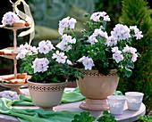 Pelargonium peltatum 'Albina Nova' (White Hanging Geranium)