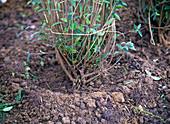 Plant privet hedge