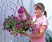 Water petunia flower basket with iron fertilizer