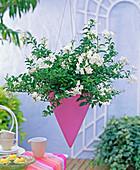 Solanum jasminoides (jasmine) in pink pointed lamp