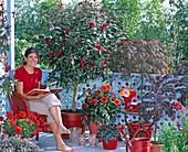 Cestrum (Hammerstrauch), Acer palmatum ' Dissectum Garnet '