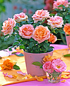 Rosa (mini-pot frogs) pink apricot in pink tin pot